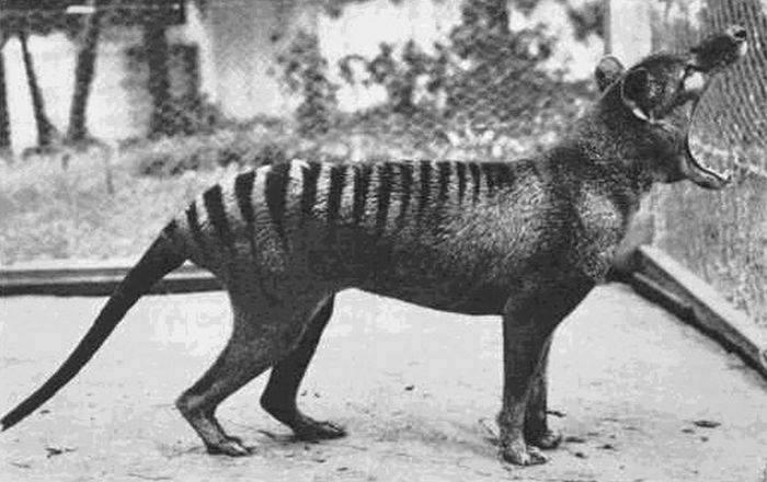 The last Tasmanian Tiger 1933.