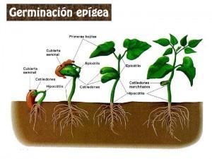 germinación epigea e hipogea