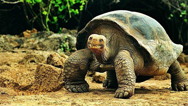 Tortuga de Galápagos o tortuga elefante