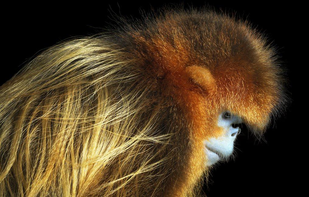 Mono dorado de nariz chata