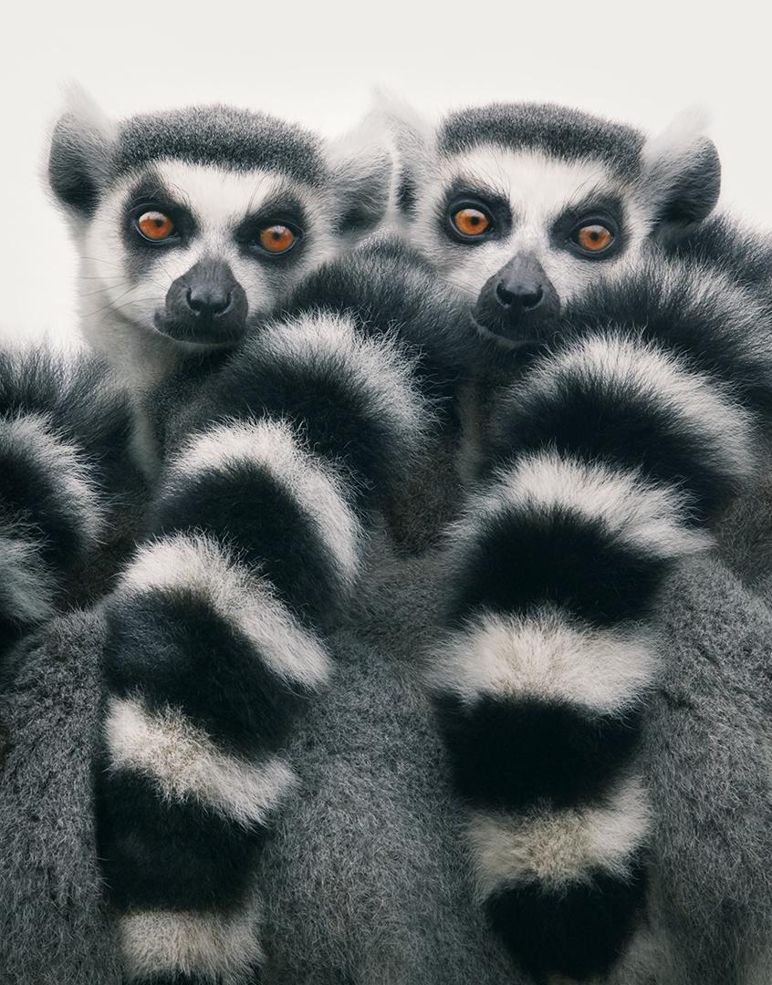 Lémur rufo blanco y negro del este de Madagascar